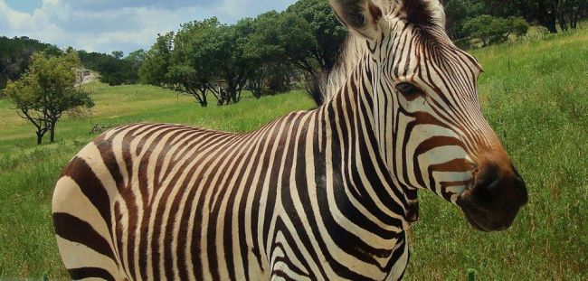 A zebra walk past at the Fossil Rim Wildlife Center in Glen Rose, TX.