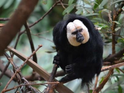 A monkey in the Dallas World Aquarium