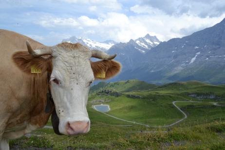 A cow roaming around on mount Mannlichen in Switzerland.